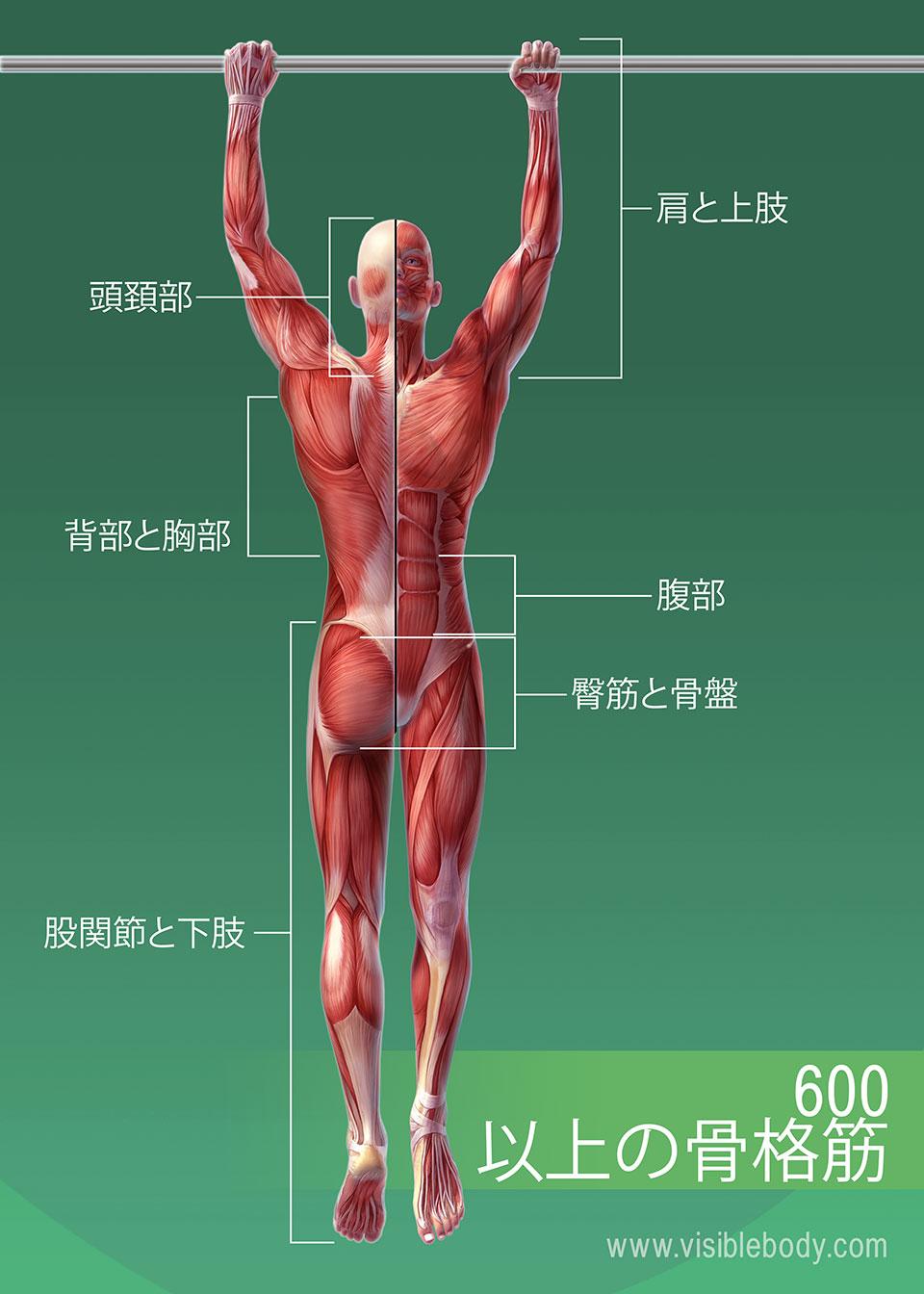 600を超える-骨格-筋