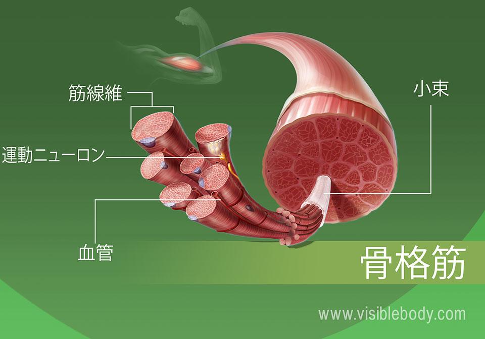 骨格筋組織の拡大図