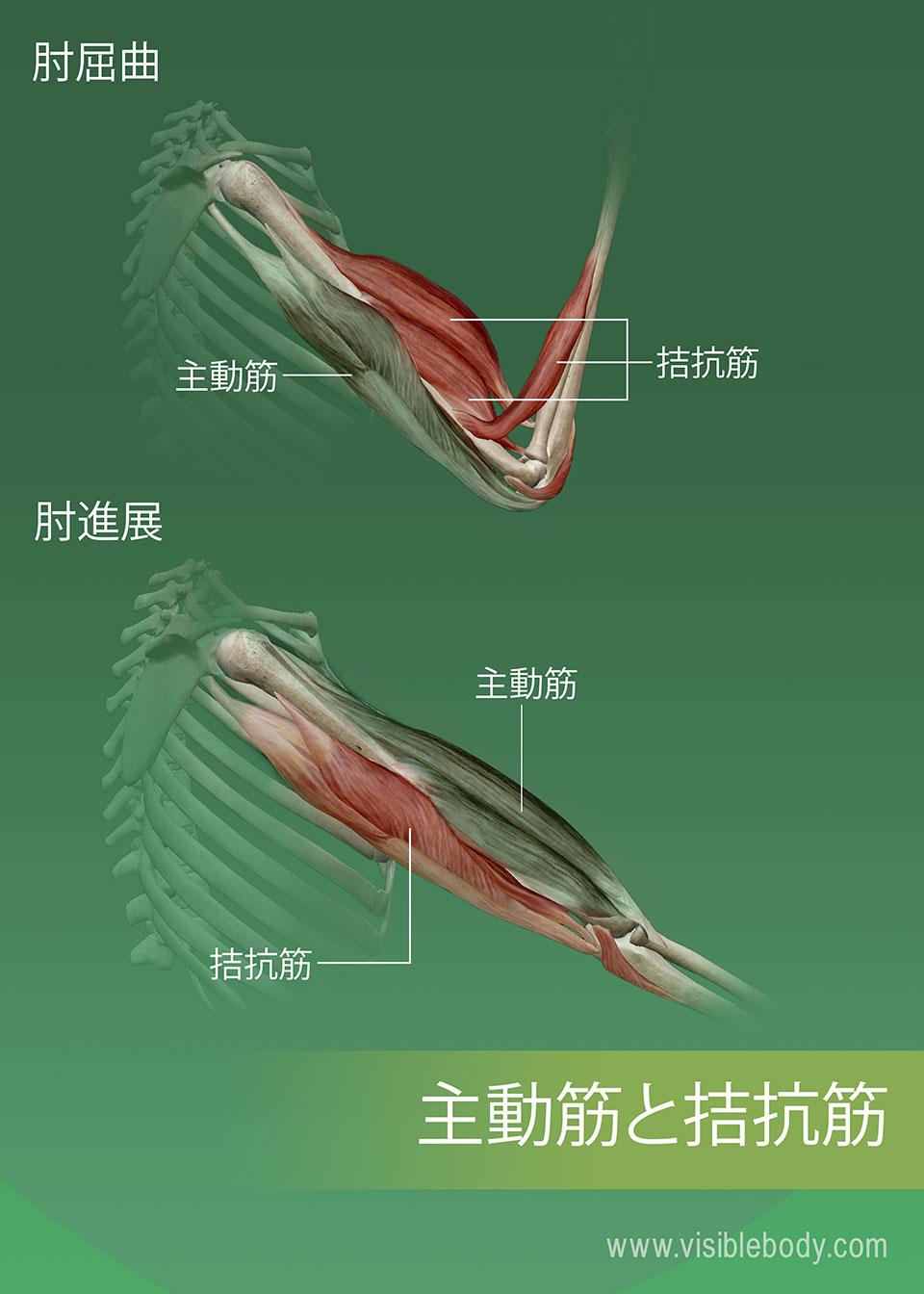 筋肉の主動筋、拮抗筋および協力筋