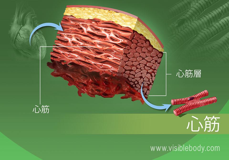 人体の心筋組織のクローズアップ