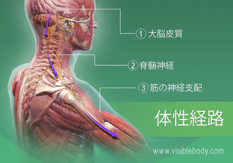 筋肉の神経支配の体性経路