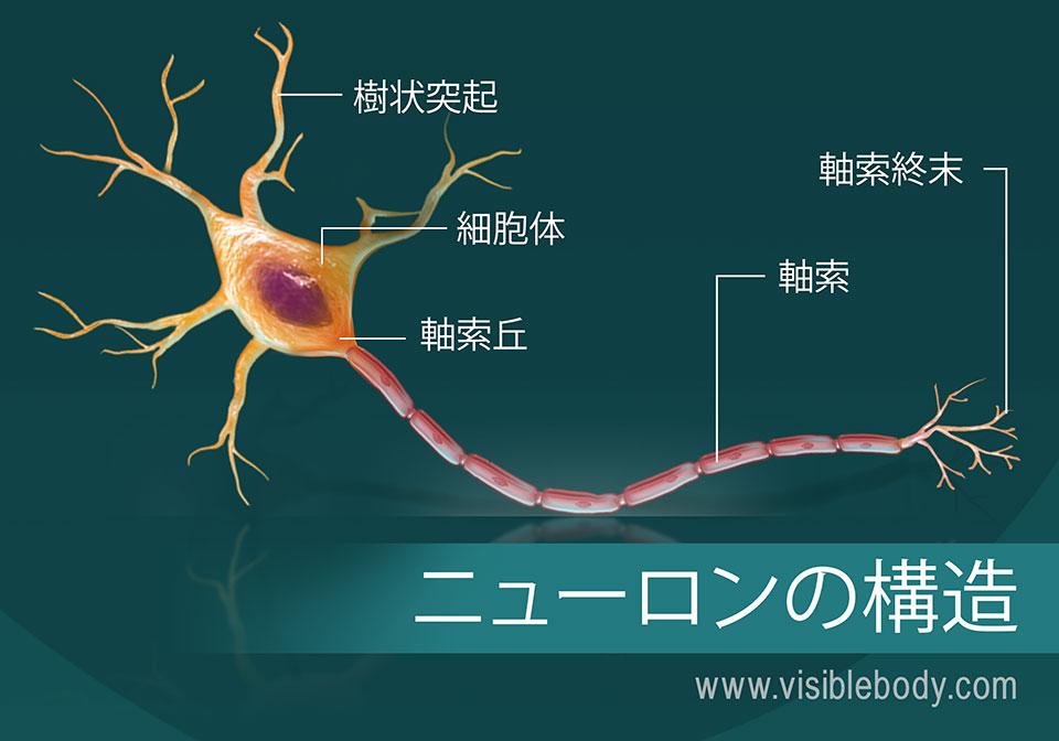 ニューロンの構造図
