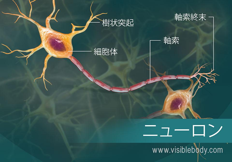 ニューロンとそのパーツの図