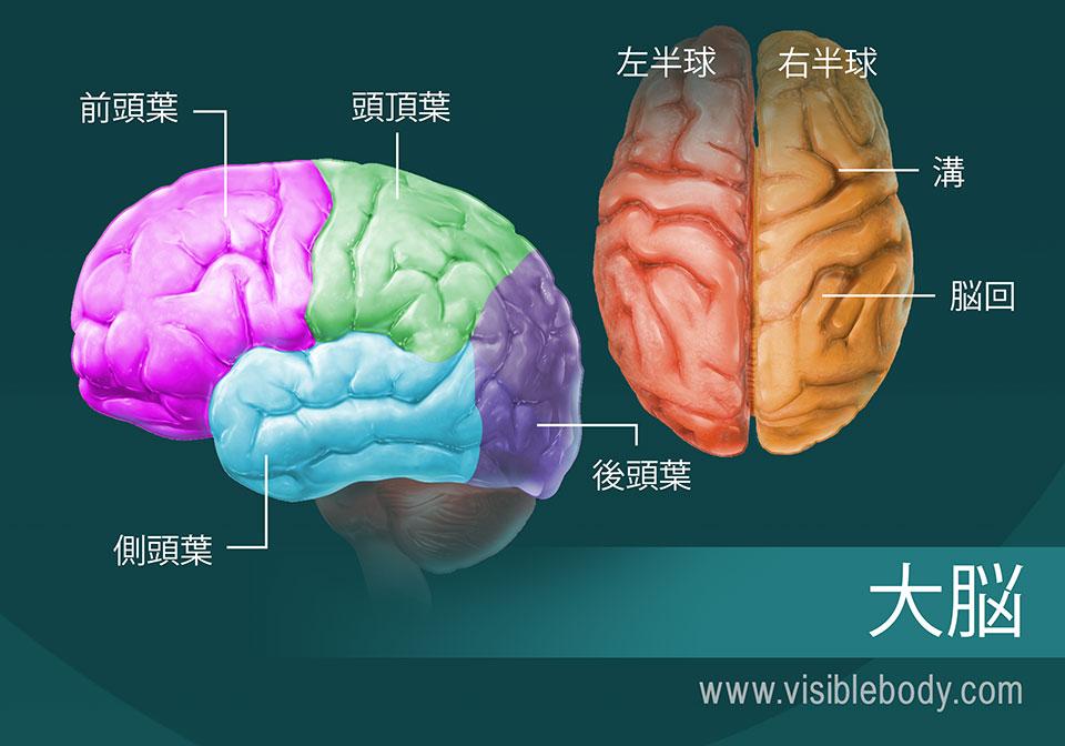 大脳の部分の図