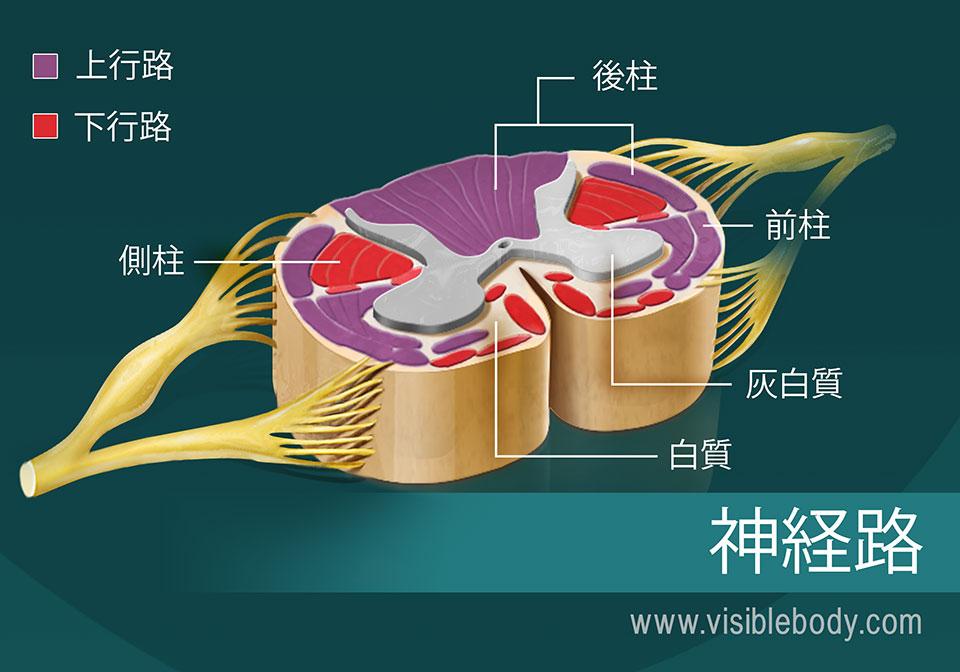 脊髄の神経路の図