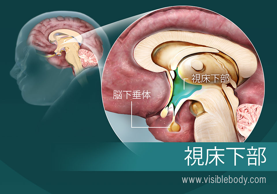 脳における視床下部とその位置