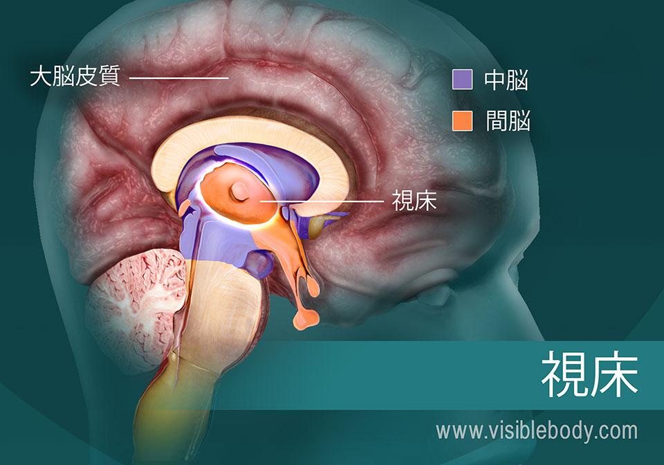 脳における視床の位置