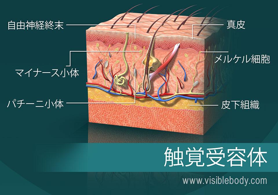 触覚受容体を示している皮膚の横断面