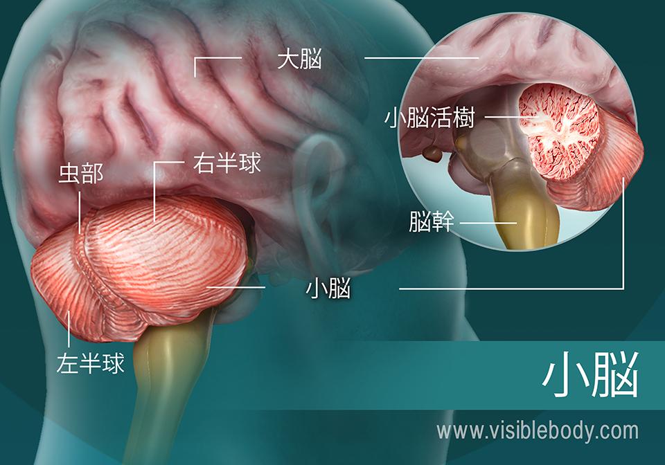 小脳部分の図