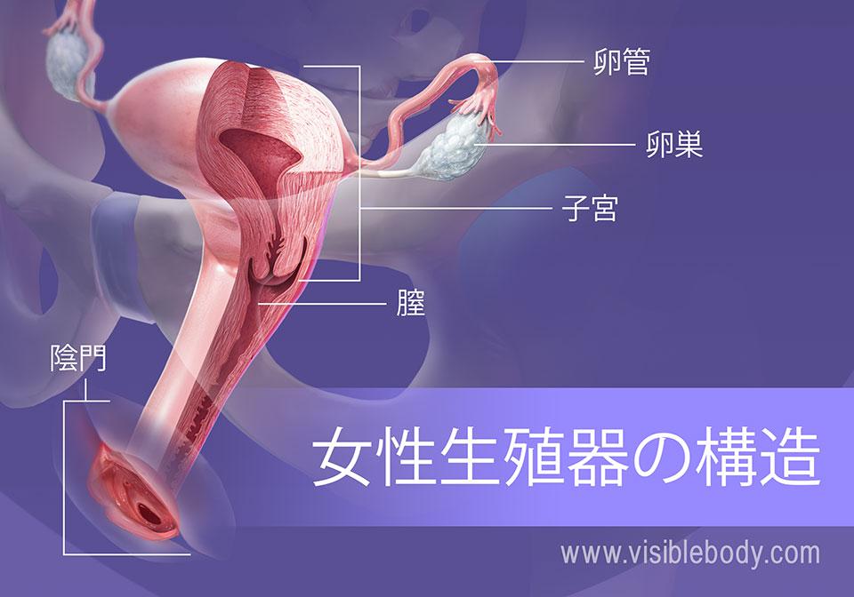 女性生殖器構造の概要