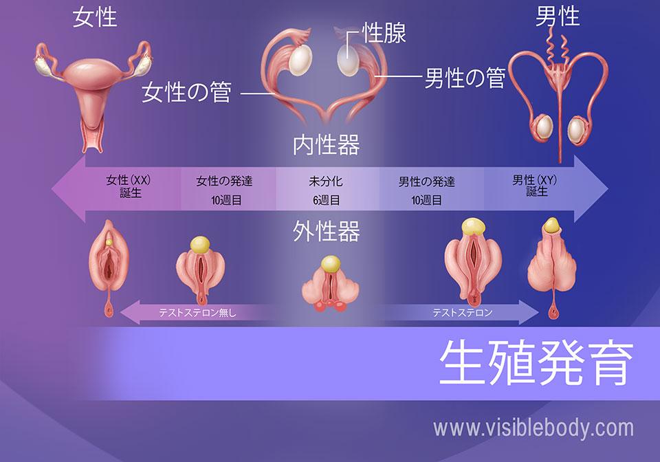 胎児の生殖器の分化