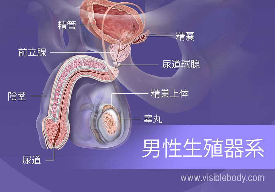 男性生殖器の構造