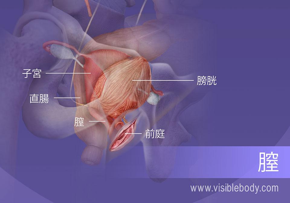 女性生殖器系の内側部分と泌尿器の膀胱