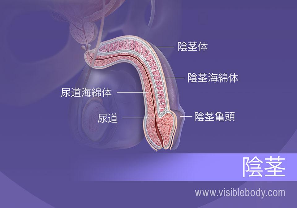 陰茎の横断面、体と頭部の構造物。