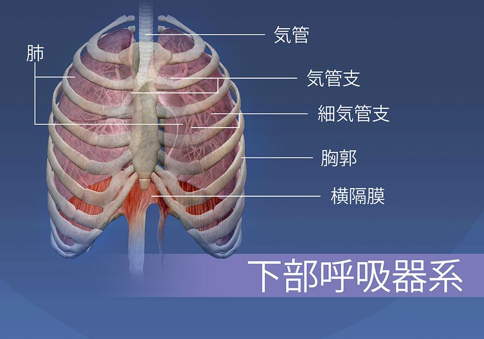 下部呼吸器系の構造は、気管、気管支、細気管支、胸郭、肺および横隔膜から構成されています。