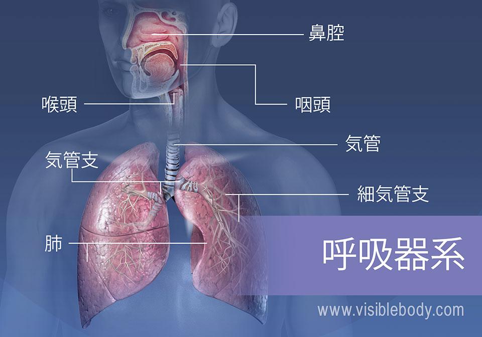 呼吸器系の主な構造には、鼻腔、咽頭、喉頭、気管、気管支、肺および細気管支があります