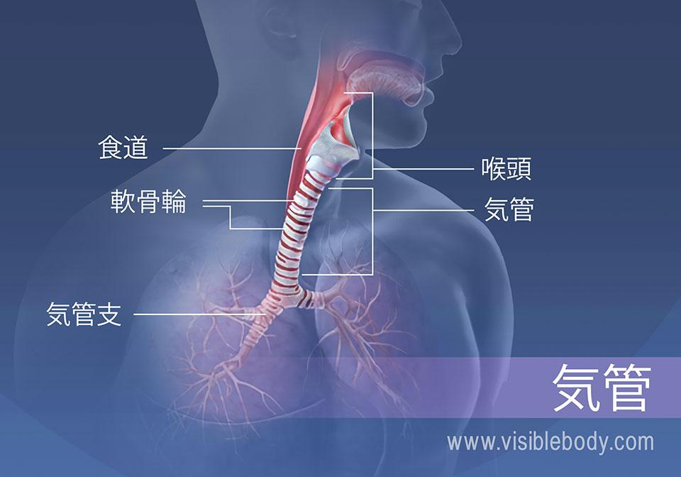 気管領域の構造には、食道、喉頭、軟骨輪および気管支が挙げられます。