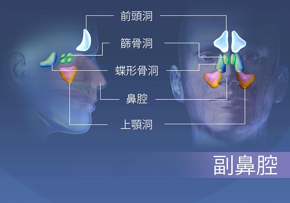 副鼻腔の領域; 前頭骨、篩骨、蝶形骨、および上顎骨