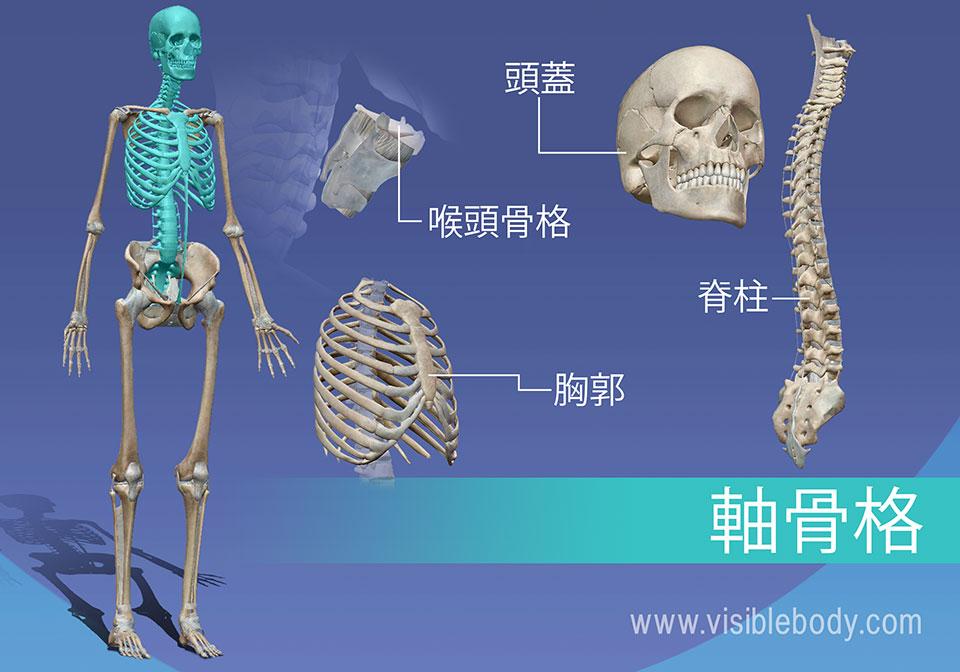 軸骨格の概説: 頭蓋骨、椎骨、喉頭、および  胸部