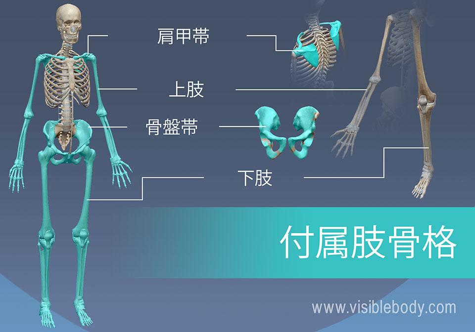 付属肢骨格は、腕と脚、ならびに肩と骨盤から構成されています