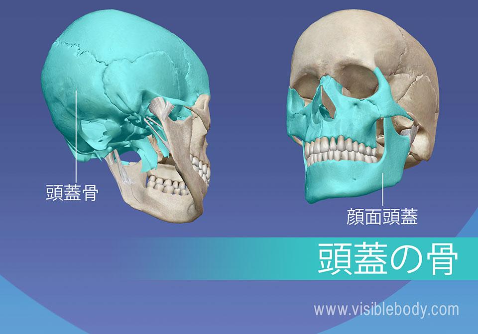 頭蓋骨および顔面骨格
