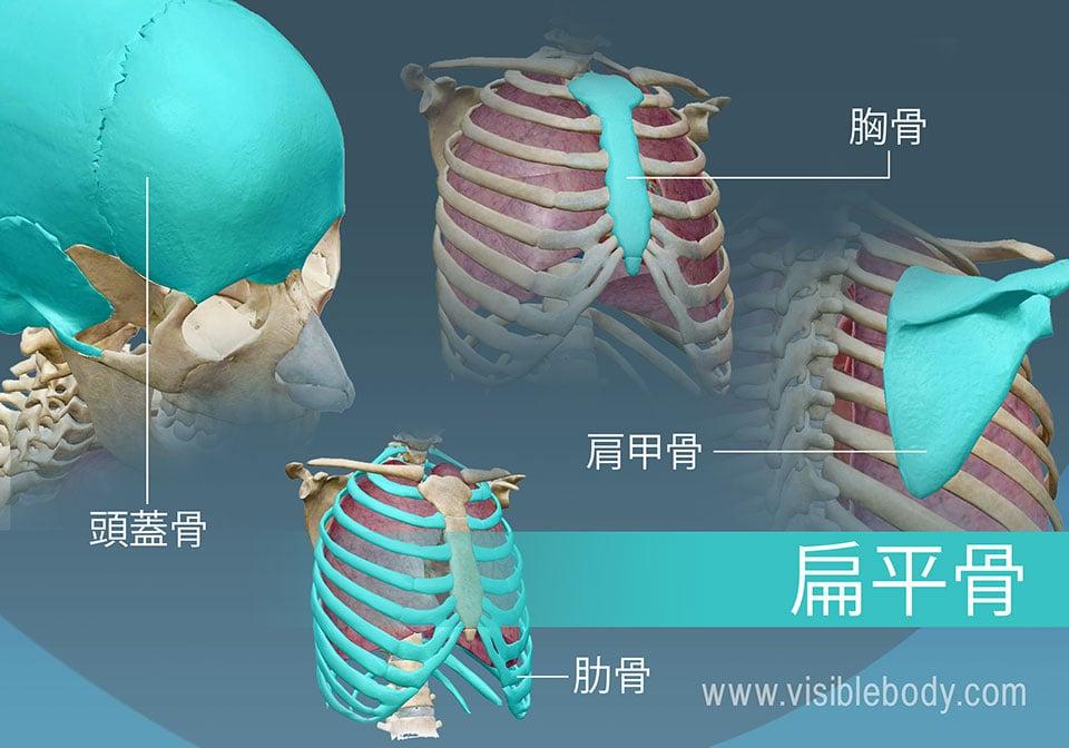 扁平骨の4つの種類の例