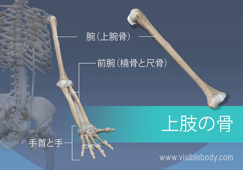 上腕骨、橈骨、尺骨、および手首と手の骨