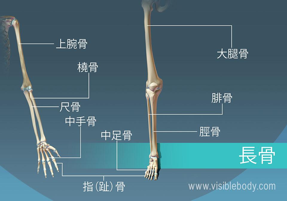 身体には、9個の長骨の例があります