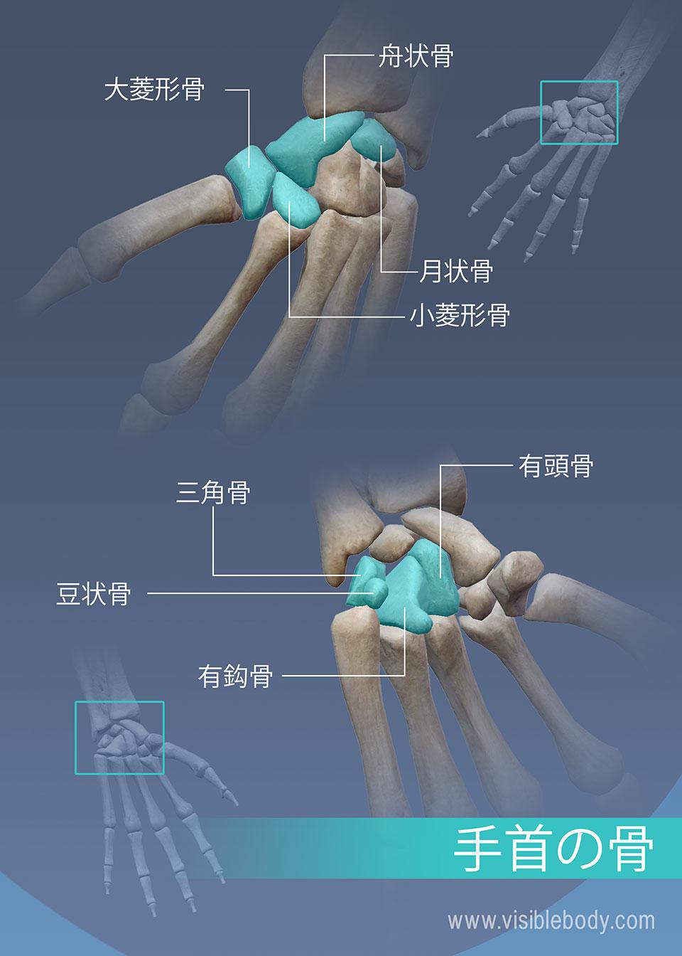 大菱形骨、舟状骨、月状骨、小菱形骨、有頭骨、三角骨、豆状骨、および有鈎骨手首の骨