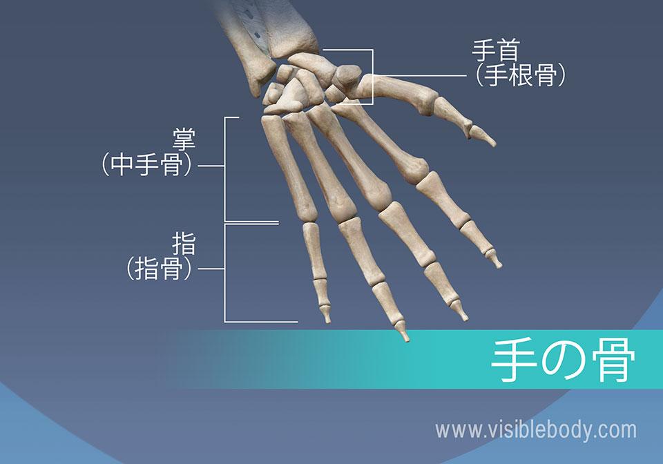 手の骨、中手骨、基節骨、中節骨と末節骨
