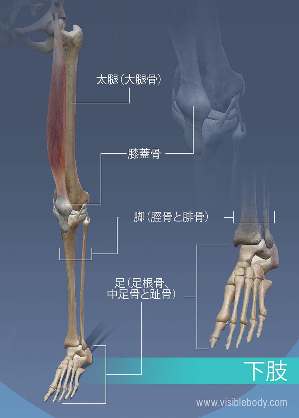 大腿、脚および下肢の足首の骨