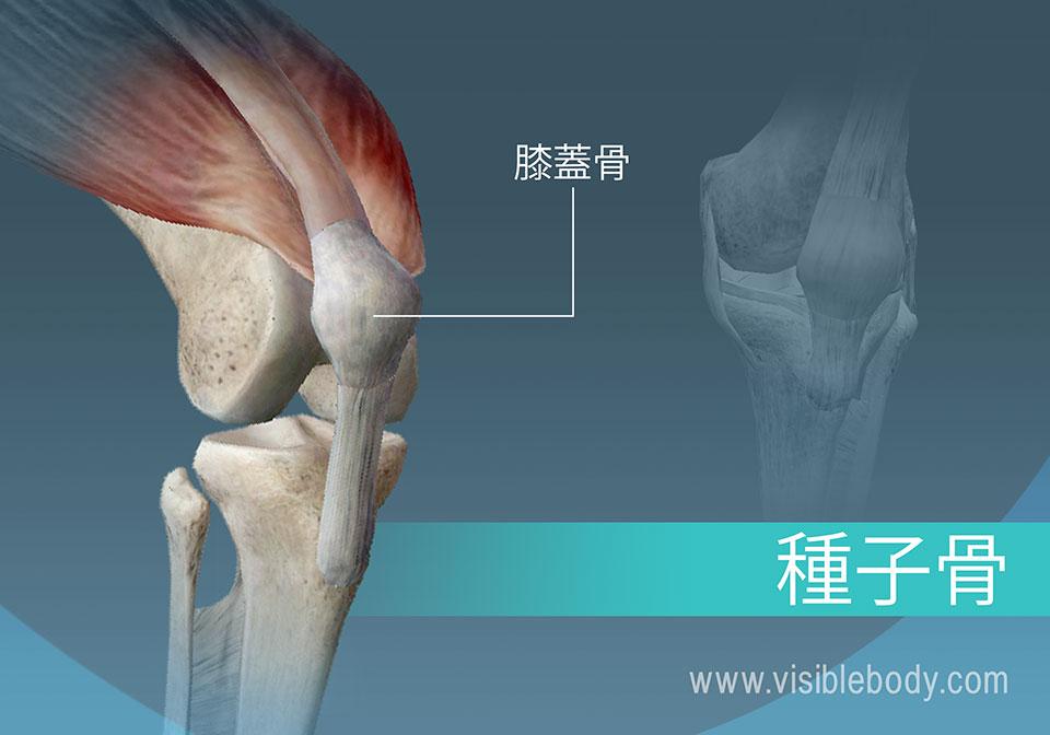 身体の種子骨、膝蓋骨