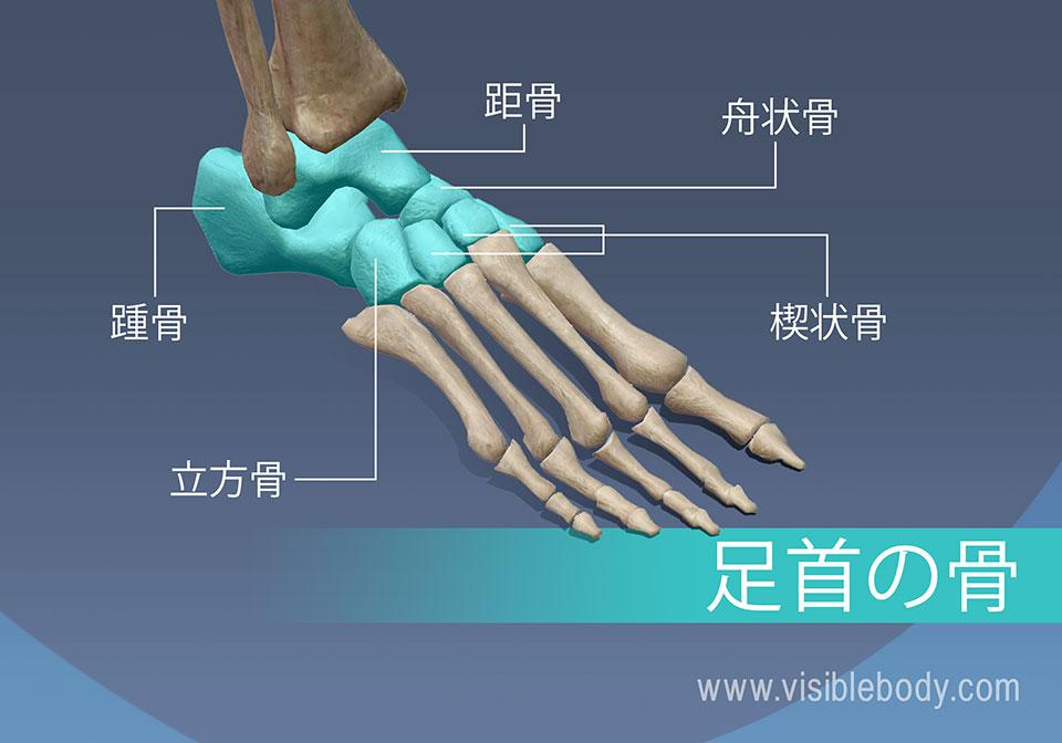 足首の骨、距骨、舟状骨、楔状骨、踵骨、および立方骨足首の骨