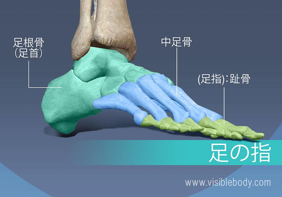 足の骨、中足骨、基節骨、中節骨、および末節骨足骨