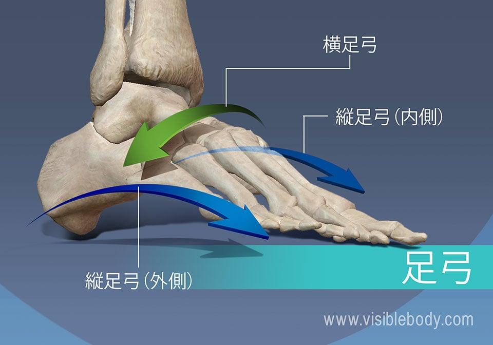 足底弓、横足弓、外側縦足弓、および内側縦足弓足底弓