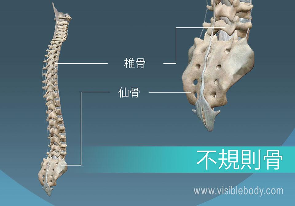 椎骨と骨盤は、人体における不規則形骨の例です