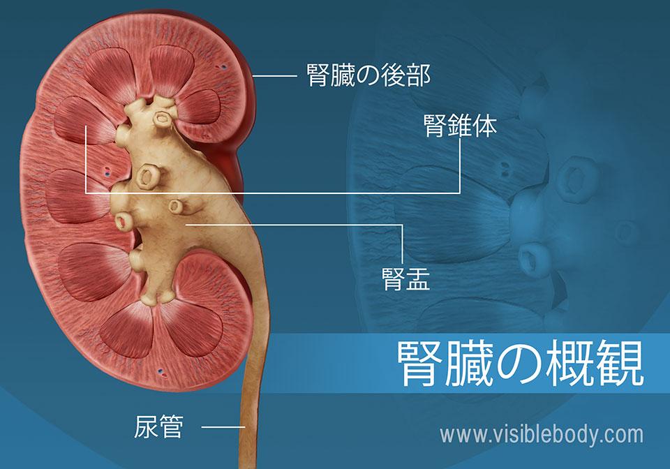 腎盂と錐体構造を示している腎臓の横断面