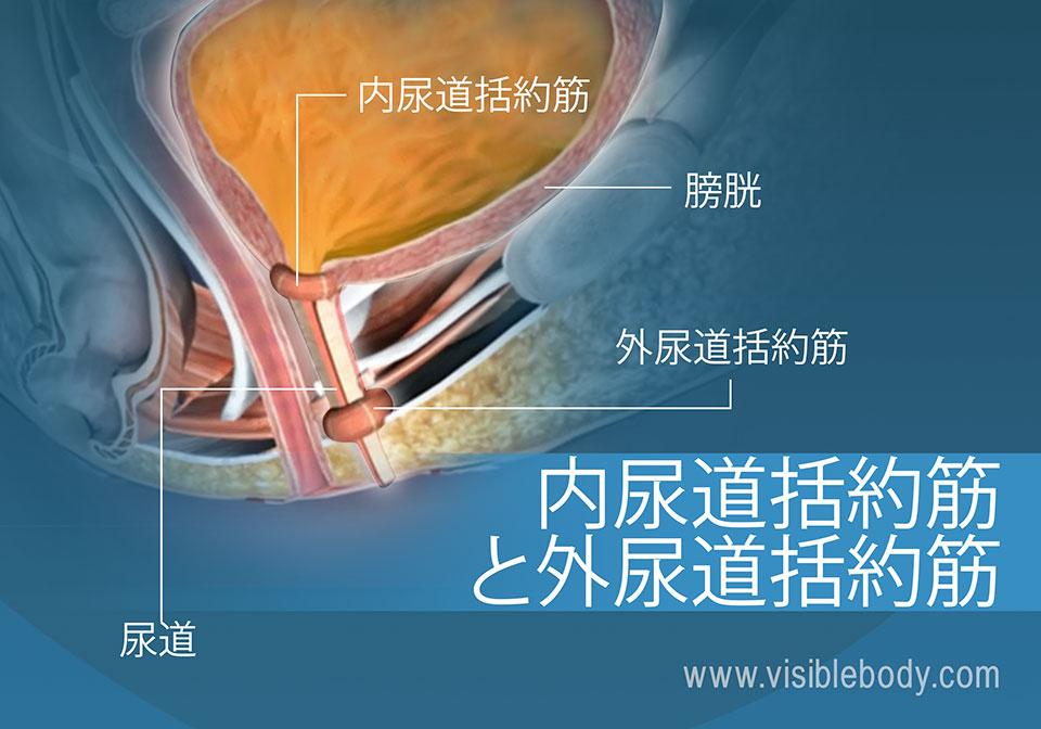 膀胱の外尿道括約筋と内尿道括約筋