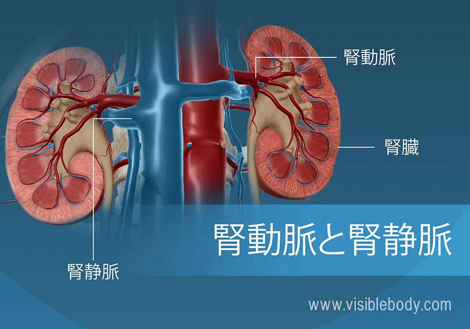 腎動脈と腎静脈を通って腎臓へ出入りする血流