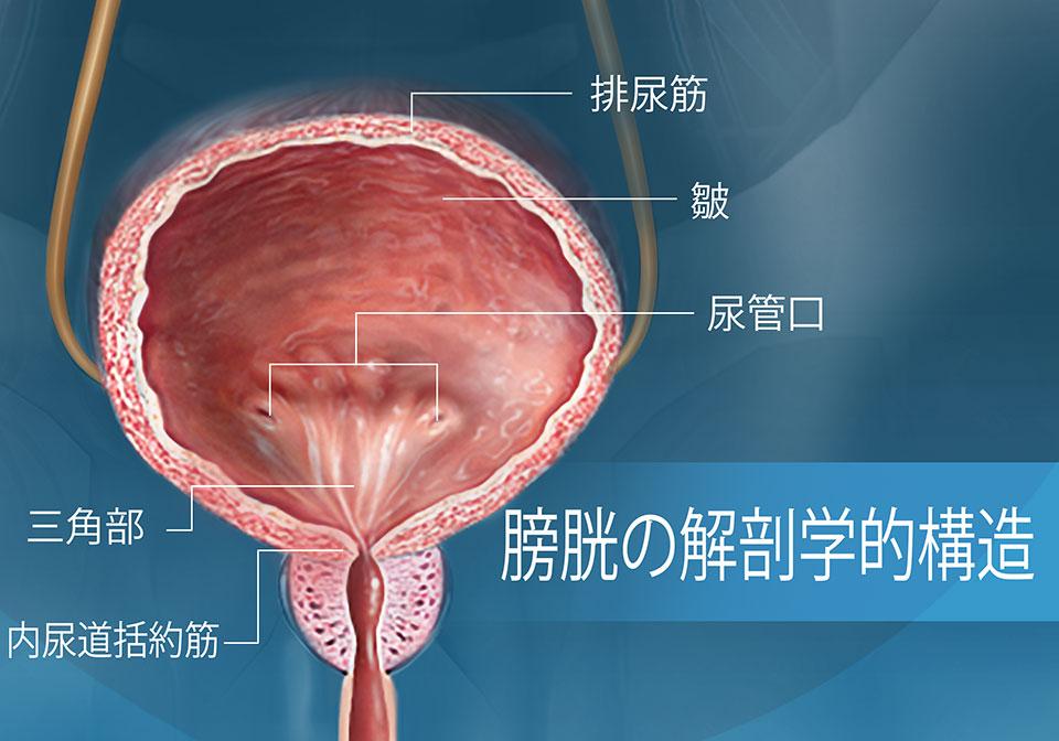 膀胱の解剖学的構造を示す正面断面図