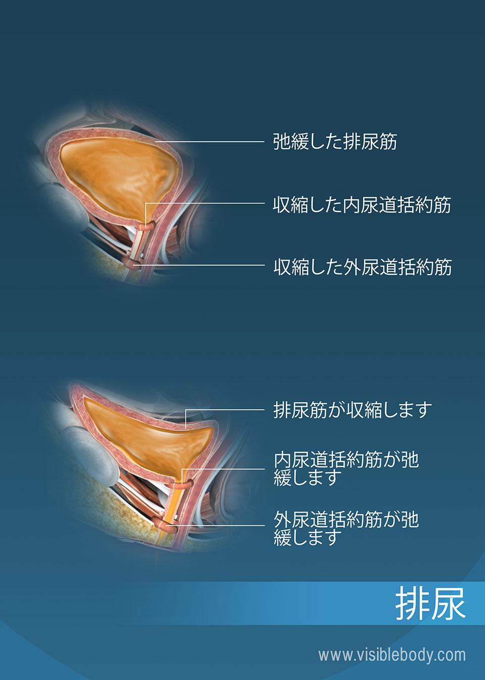 排尿過程を促進する尿道括約筋と排尿筋がある尿を貯蔵している膀胱(排尿の過程にある膀胱)
