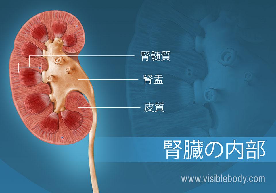 腎錐体と髄質を示す腎臓の横断面。