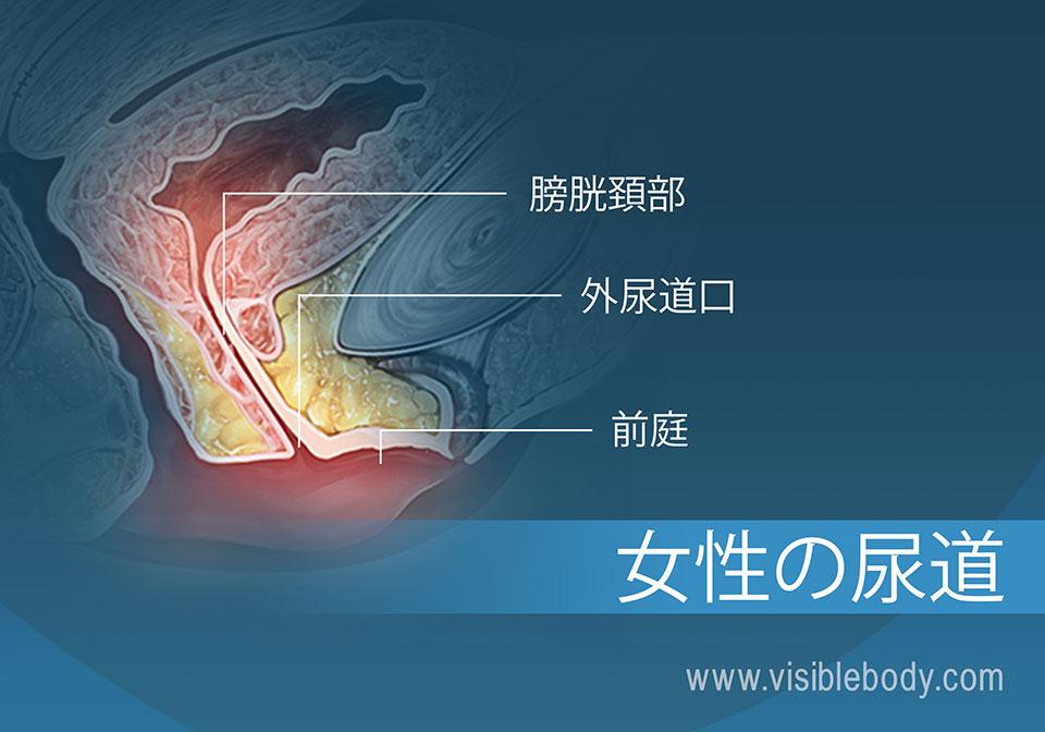 女性膀胱位置图片_泌尿器系の構造
