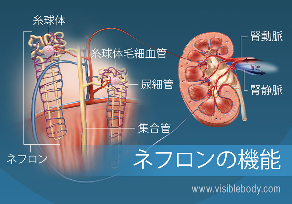 ネフロン小管、腎錐体と腎皮質を示すネフロンの解剖学的構造と機能