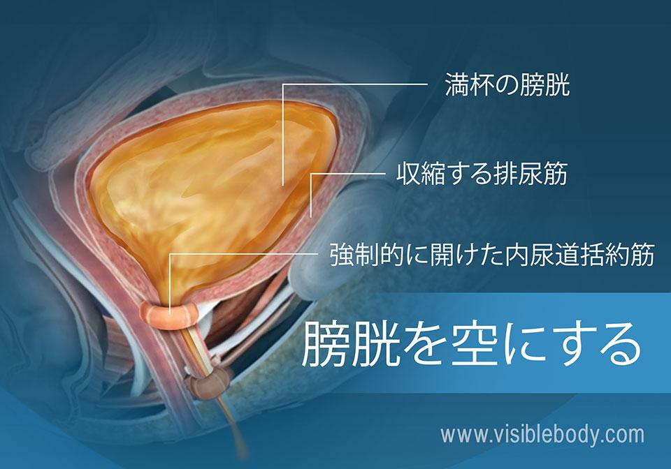 充満した膀胱および尿意を担う筋肉。