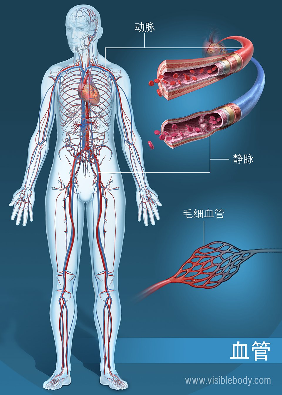 全身的动脉、静脉和毛细血管网络