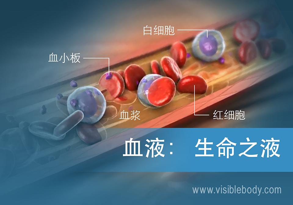 血液的组成以及在人体中的功能