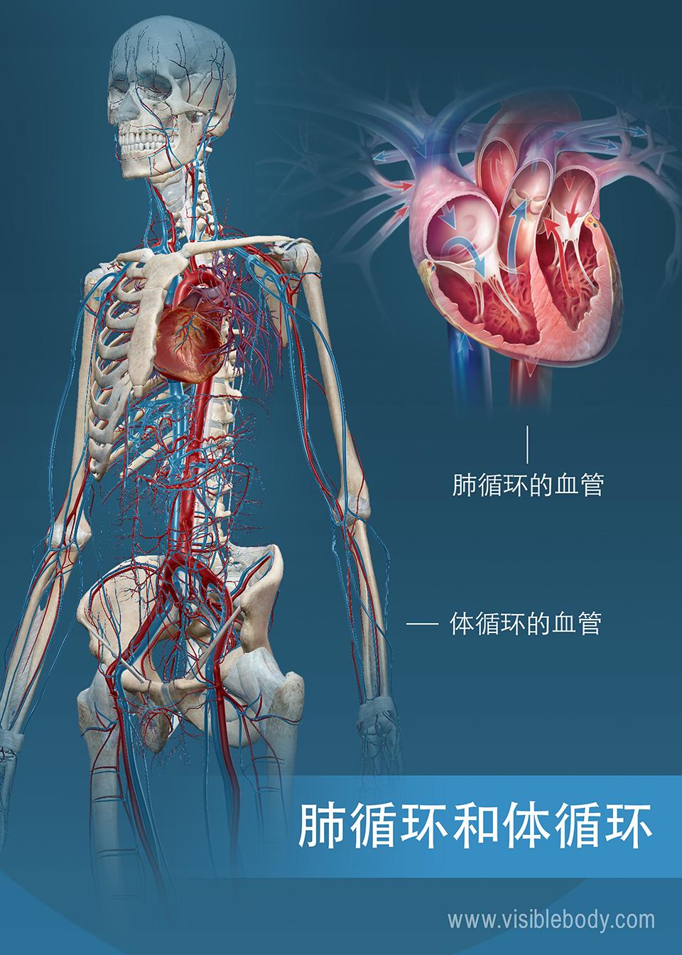 体循环和肺循环的血管