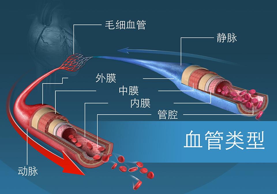 不同类型的血管和它们的各层