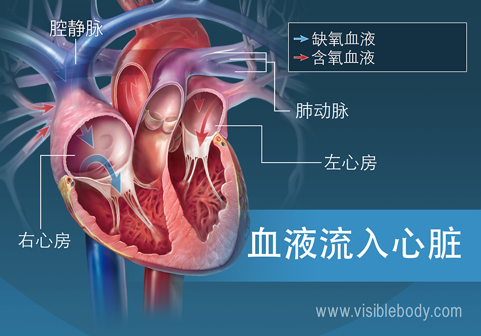 心房将血泵入心脏